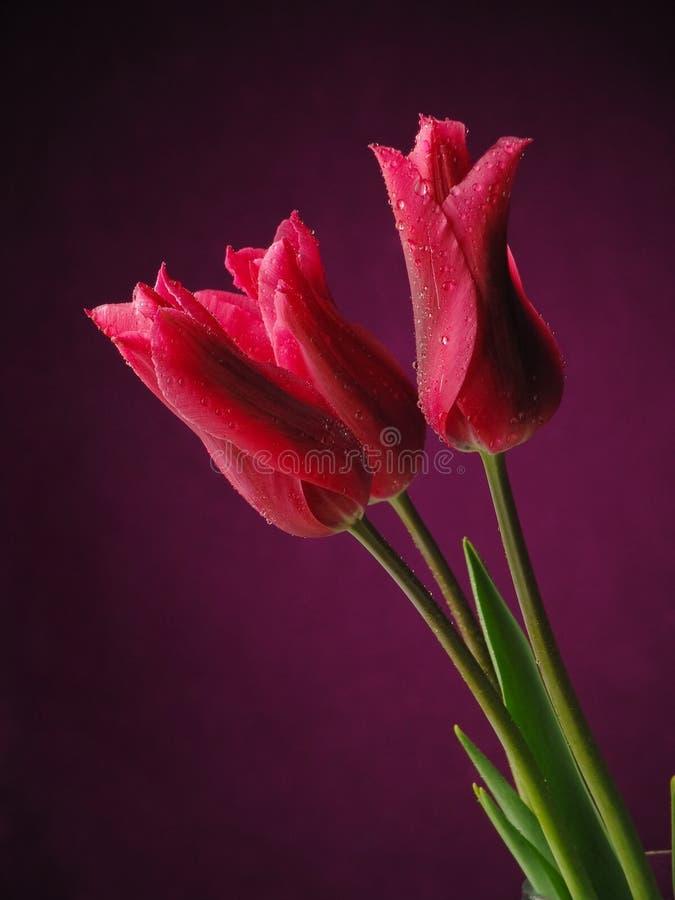тюльпаны темноты предпосылки стоковые фото