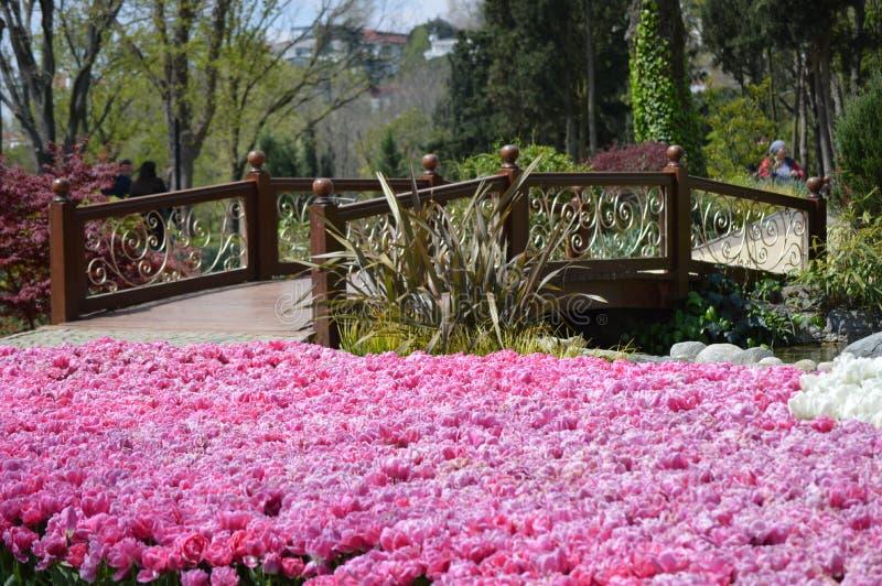 Тюльпаны Beautyful красочные розовые и деревянный мост в предпосылке стоковое фото rf
