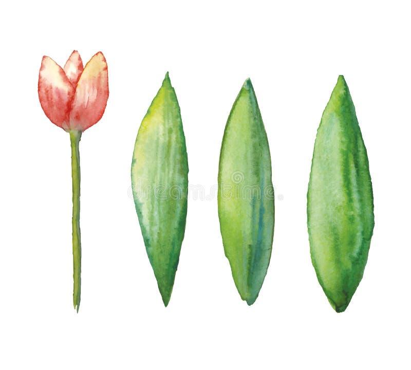 Тюльпан акварели вектора, иллюстрация цветка весны, флористическая иллюстрация руки вычерченная изолированная на белой предпосылк бесплатная иллюстрация