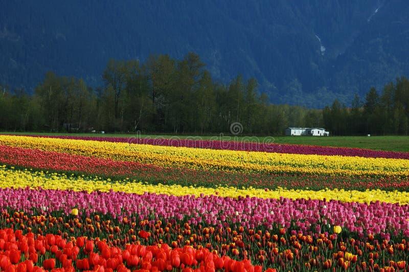 тюльпан весны поля стоковая фотография rf