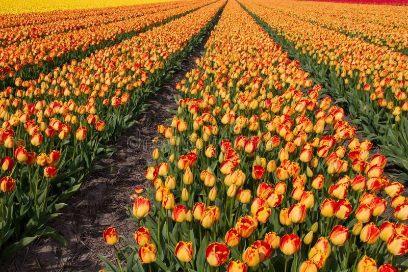 тюльпан Голландии поля стоковые фотографии rf