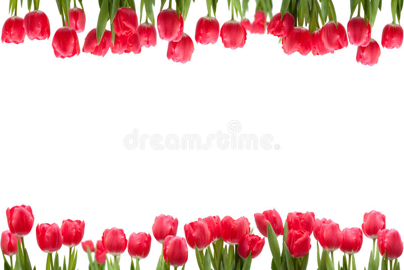 тюльпан изолированный рамкой стоковые изображения