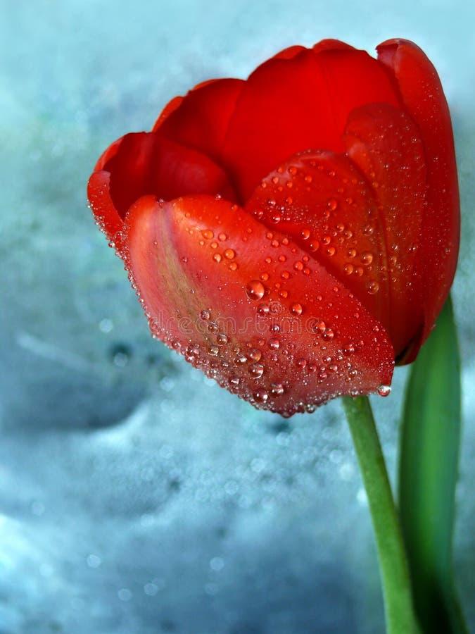 тюльпан красного цвета яркости стоковые изображения rf