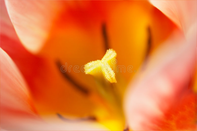 тюльпан предпосылок стоковые изображения rf