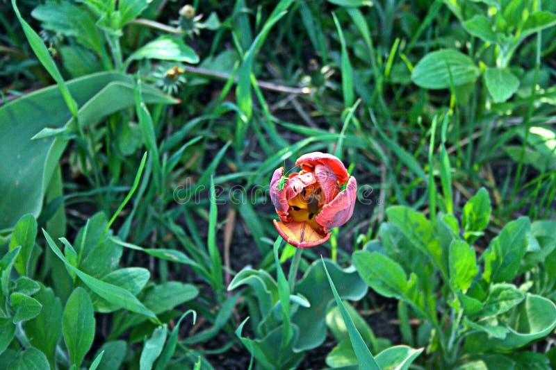 Тюльпан (Попугайный) - Рококо Дабл Один из наиболее экзотичных ... | 533x800
