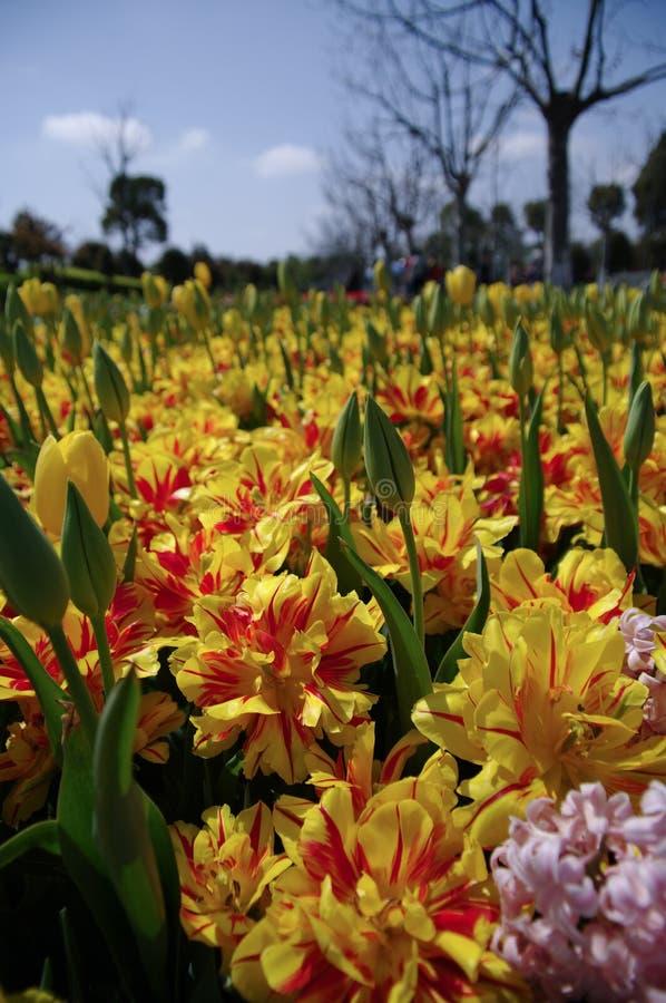 тюльпан сада стоковое фото rf