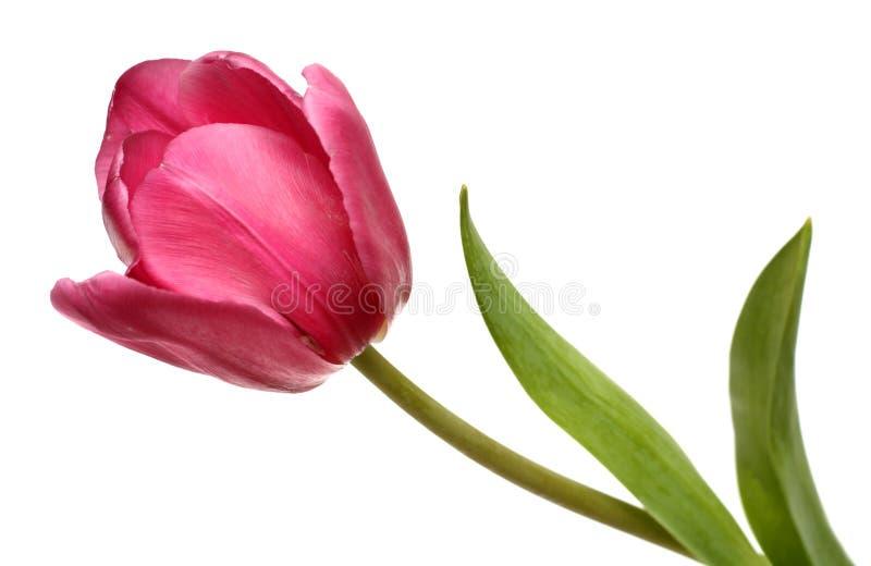 тюльпан цветения близкий красный вверх Стоковое Фото