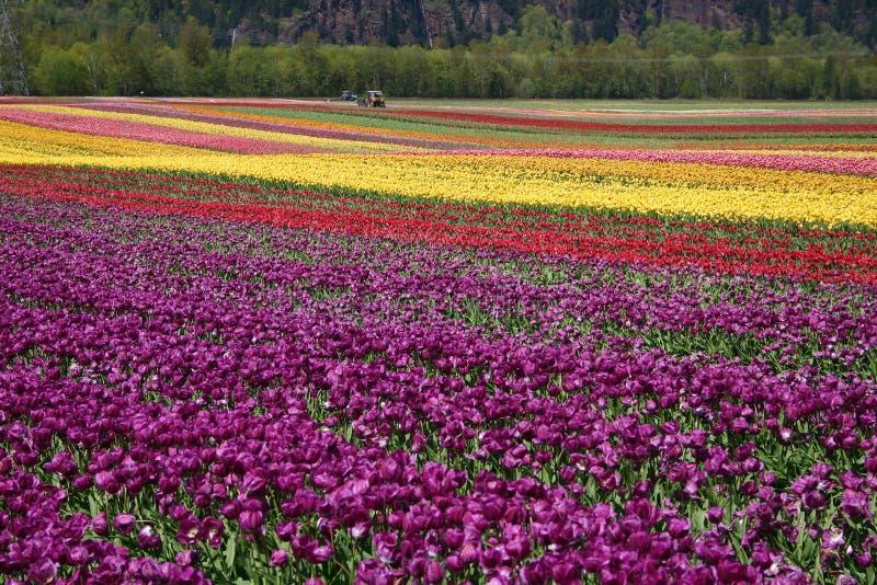 тюльпан цветка поля стоковая фотография rf
