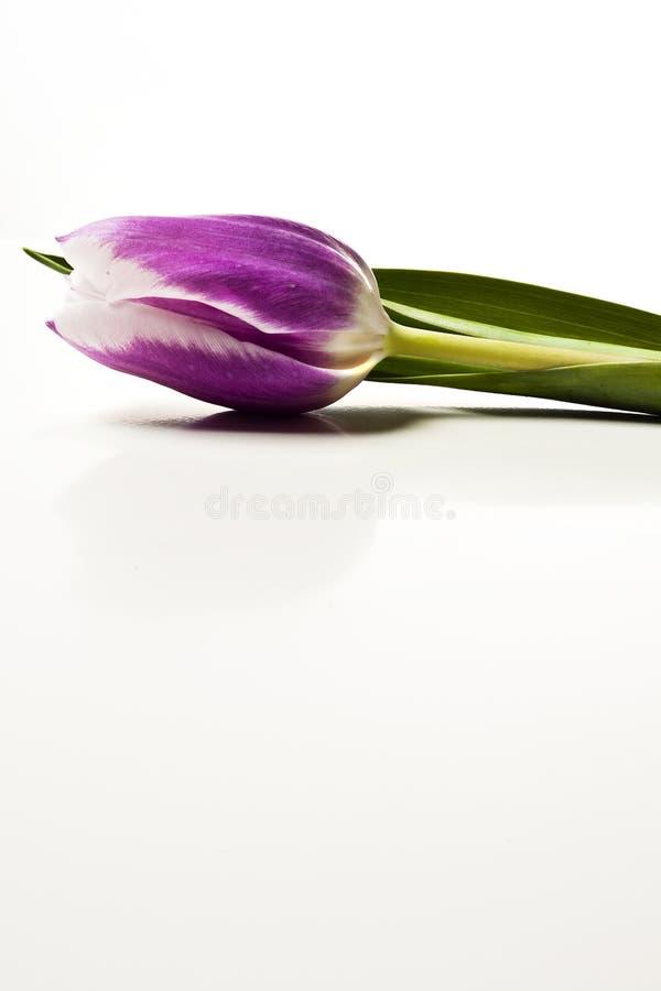 тюльпан цветка стоковая фотография