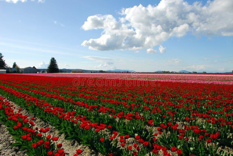 тюльпан 2 полей стоковые изображения rf