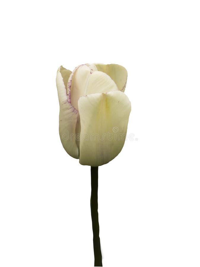 тюльпан diana предыдущий одиночный стоковая фотография