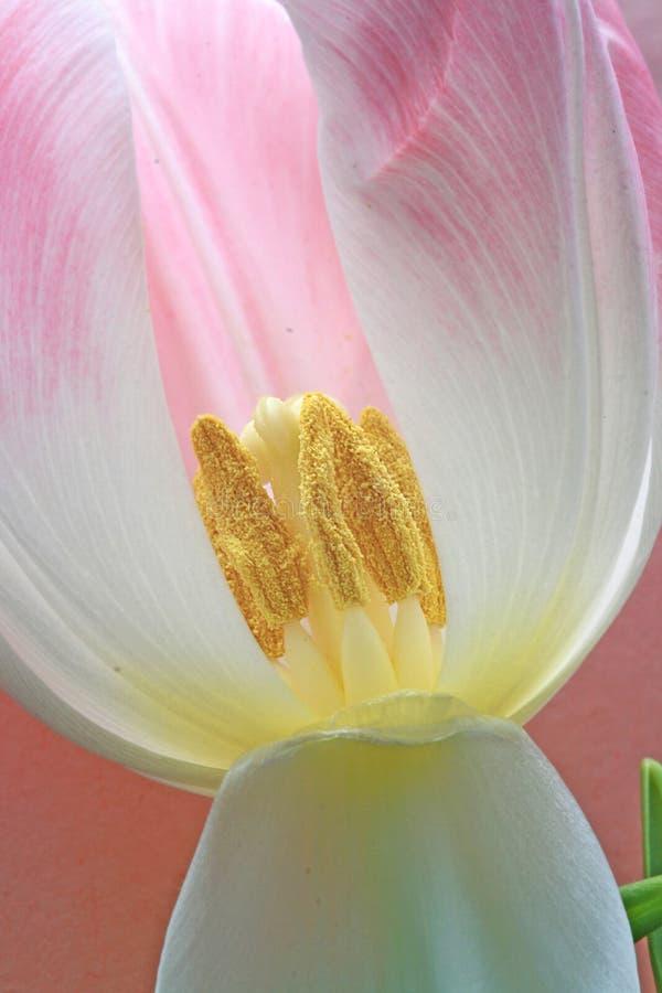 тюльпан stamens стоковая фотография