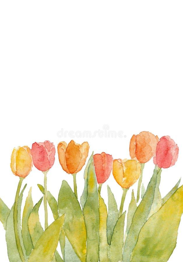 Тюльпаны акварели красные и желтые на белой предпосылке стоковые фотографии rf