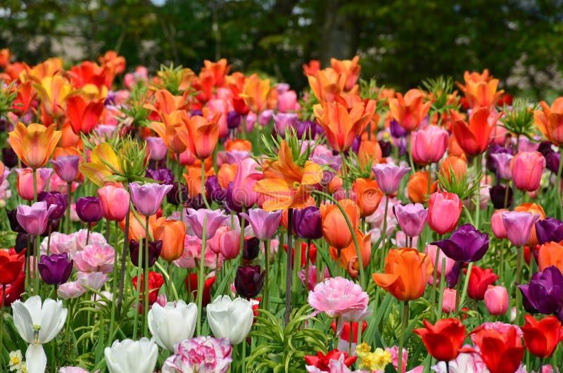 Тюльпаны весной под ярким солнцем в саде Keukenhof-Lisse, Голландии стоковые изображения rf