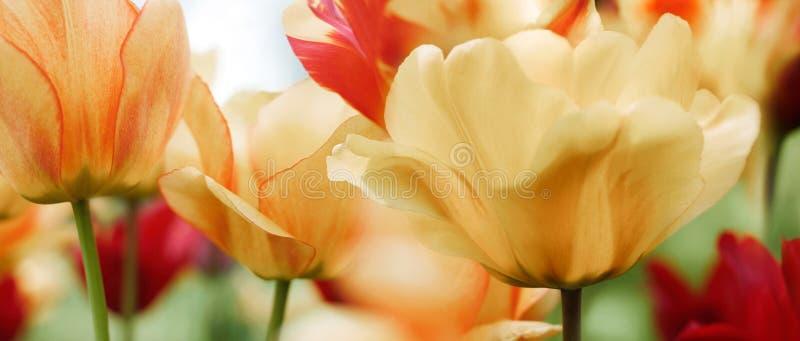 Тюльпаны весны в саде, светлом тоновом изображении стоковое фото