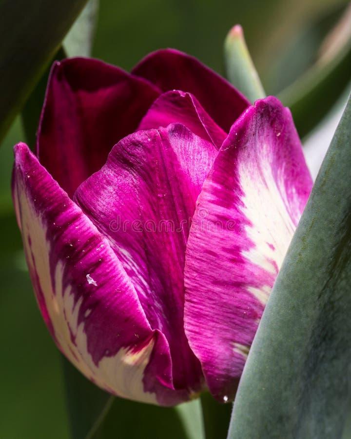 Тюльпаны весны зацветая в саде стоковая фотография rf