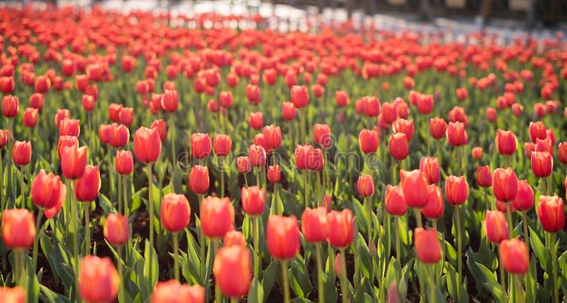 Тюльпаны в ¼ ŒChina kunmingï стоковое фото rf