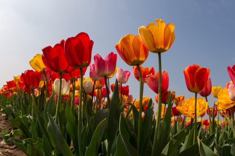 Тюльпаны в весеннем времени стоковое фото rf