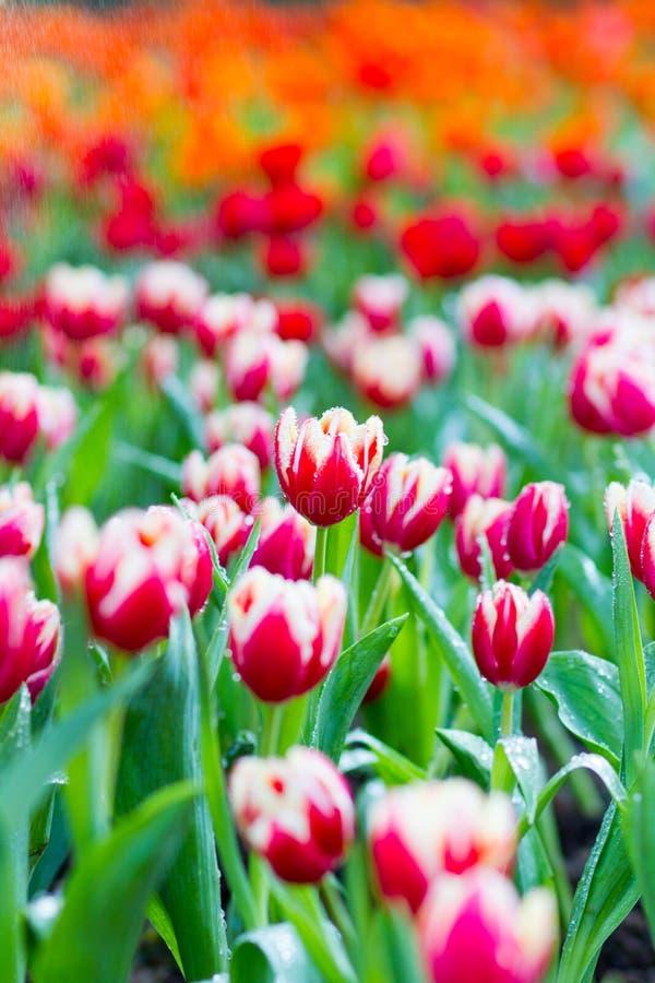 Тюльпаны в дожде стоковое изображение