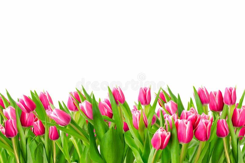 Тюльпаны в поле изолированном на белой предпосылке стоковые фото
