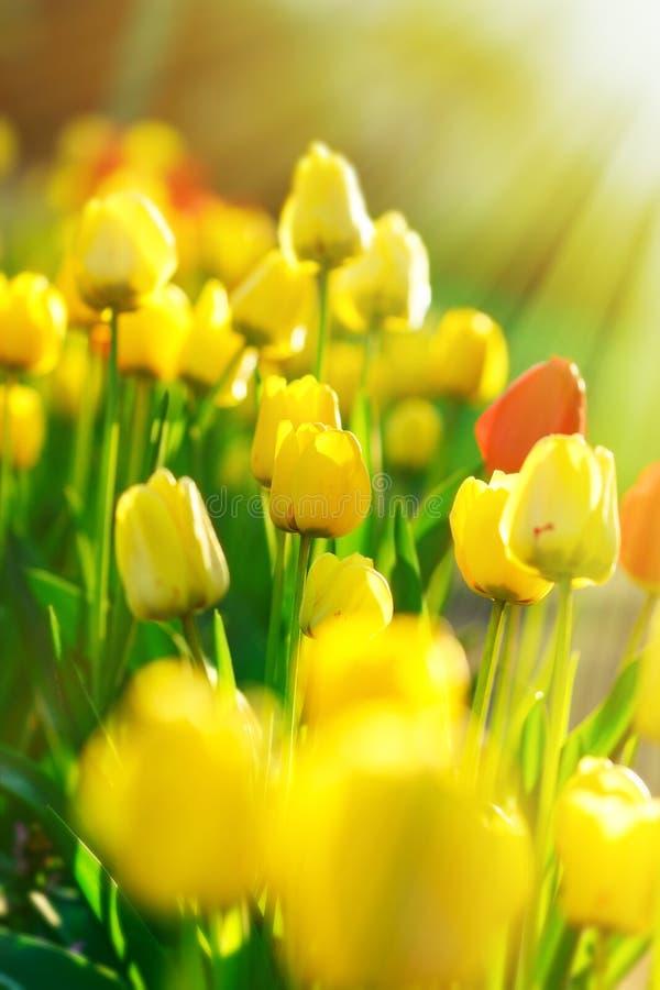 Тюльпаны в цветочном саде освещенном лучами солнца стоковые фото