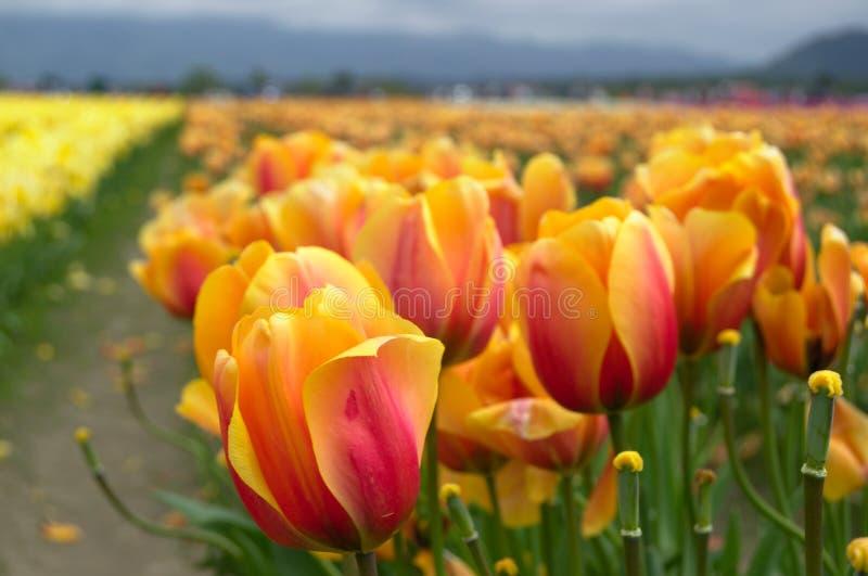 Тюльпаны гибрида Дарвина стоковые фото
