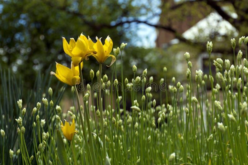 Тюльпаны леса желтые, бутоны цветка, зеленые стержни и листья стоковые фото