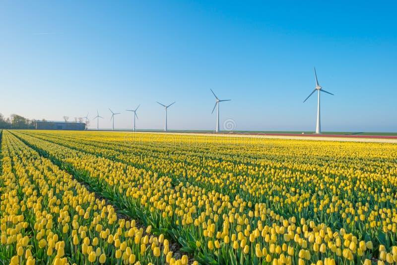 Тюльпаны и ветротурбины в поле стоковые изображения