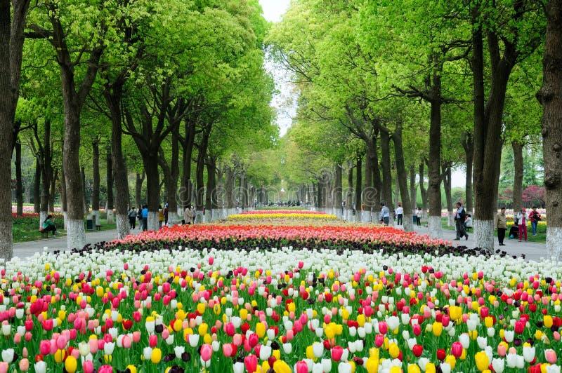Тюльпаны и деревья камфоры стоковое фото rf