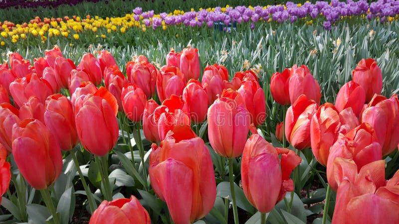 Тюльпаны и солнце цветка стоковые фотографии rf
