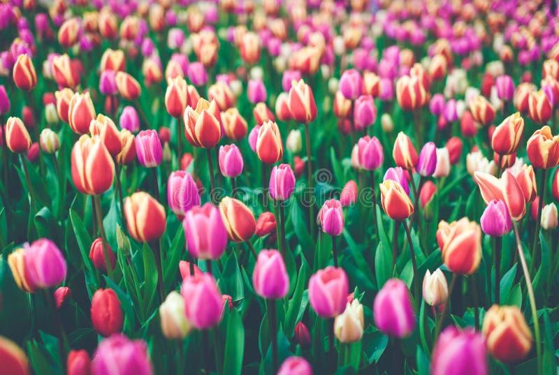 Тюльпаны Красивые пестротканые цветки весной паркуют, флористическая предпосылка стоковая фотография