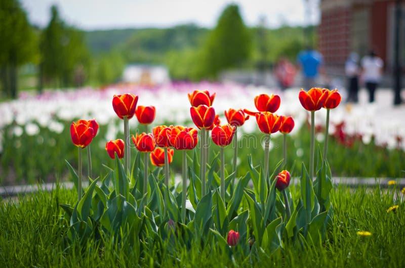 Тюльпаны на запачканной предпосылке стоковое фото rf