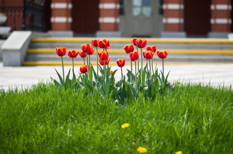 Тюльпаны на запачканной предпосылке стоковое изображение