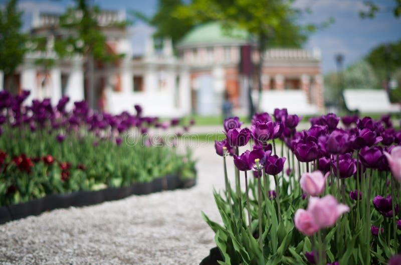 Тюльпаны на запачканной предпосылке стоковые изображения rf