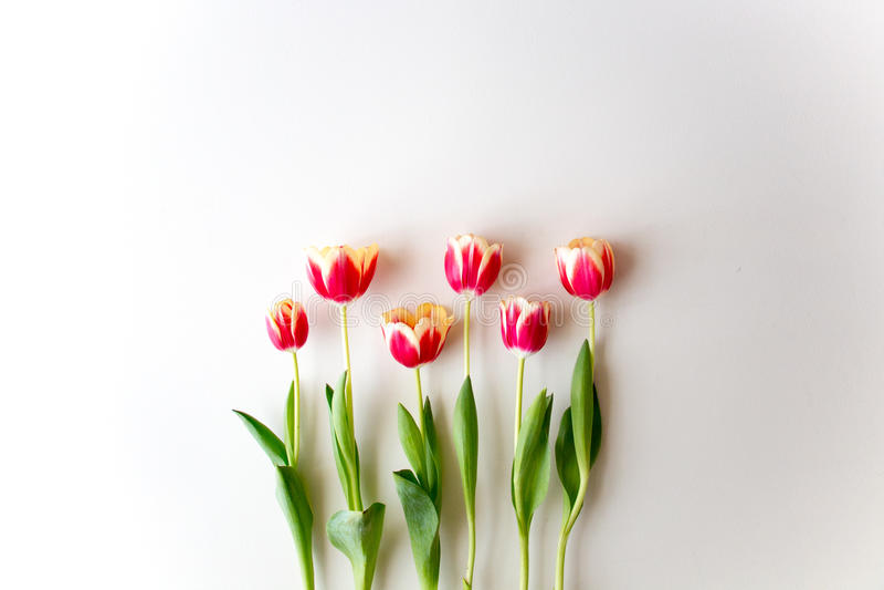 Тюльпаны на изолированной предпосылке стоковая фотография rf