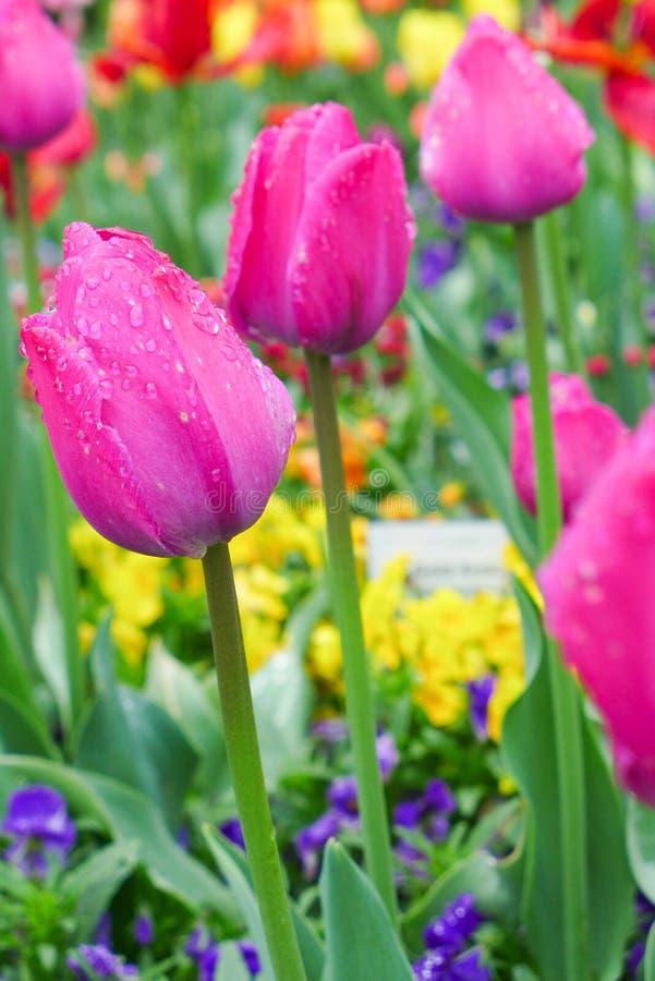 тюльпаны парка розовые стоковое изображение rf