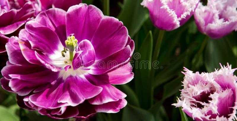 тюльпаны предпосылки лиловые Съемка макроса стоковая фотография