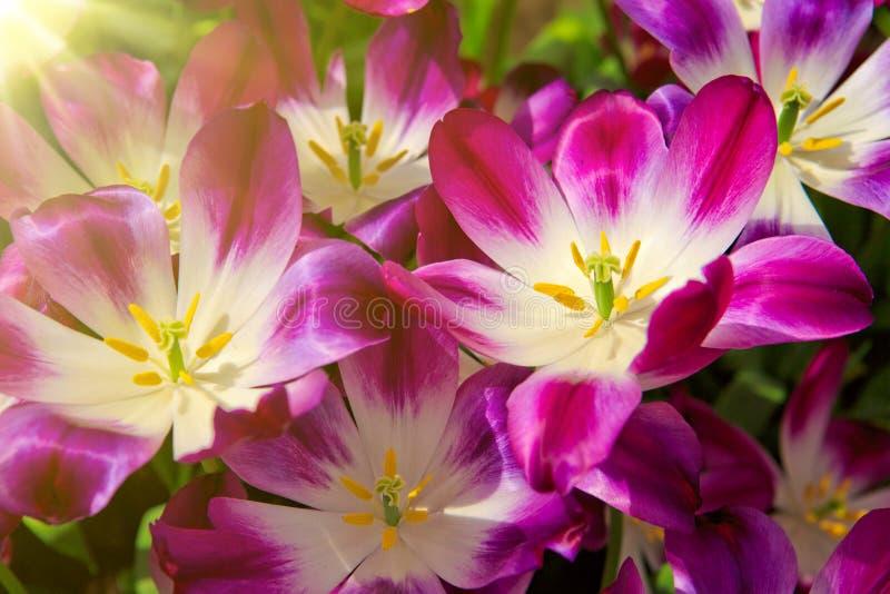 тюльпаны предпосылки лиловые Съемка макроса стоковые фото