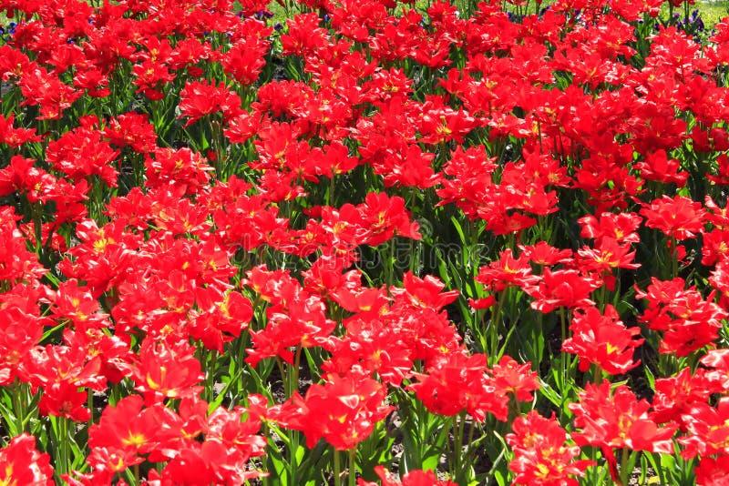 Тюльпаны сирени на цветнике стоковое изображение rf