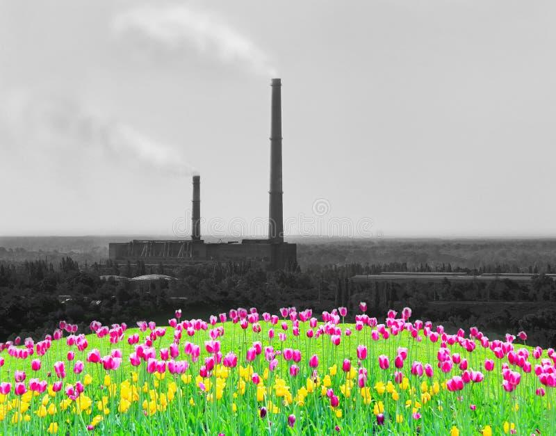 Тюльпаны сирени на цветнике стоковые изображения rf