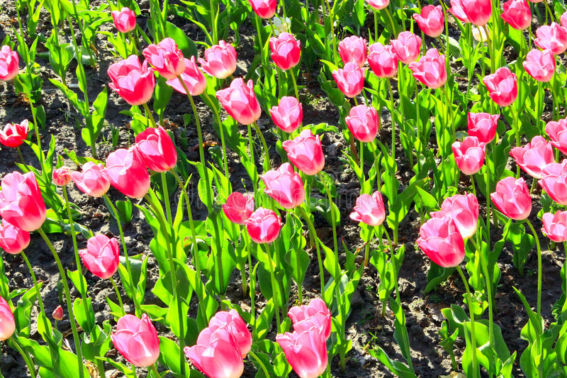 Тюльпаны сирени на цветнике стоковые изображения