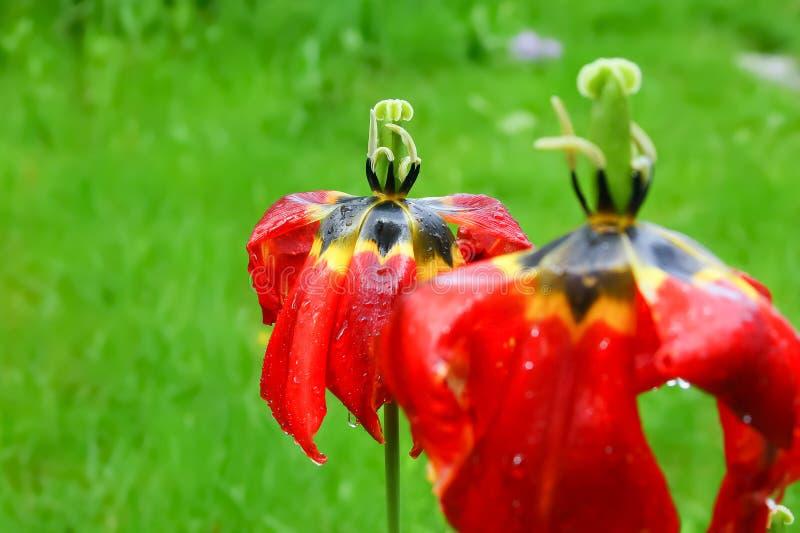 Тюльпаны увяли стоковое фото rf