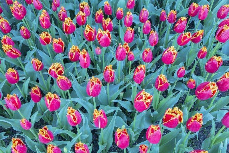 Тюльпаны Fabio стоковые изображения rf