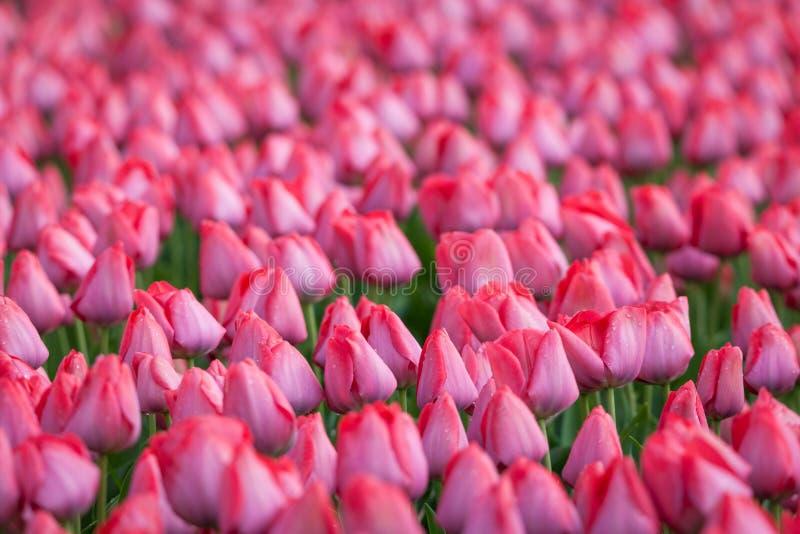 Тюльпан Красивые розовые тюльпаны цветут весной сад, loral предпосылка стоковое изображение