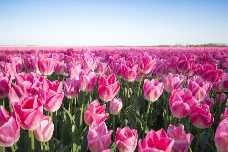 тюльпан поля розовый стоковые изображения rf
