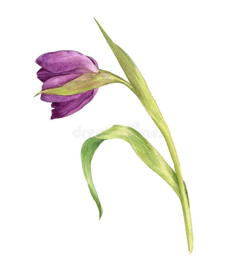 Тюльпан пурпура акварели иллюстрация вектора