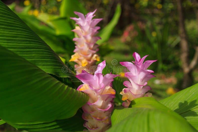 тюльпан Таиланда стоковые изображения