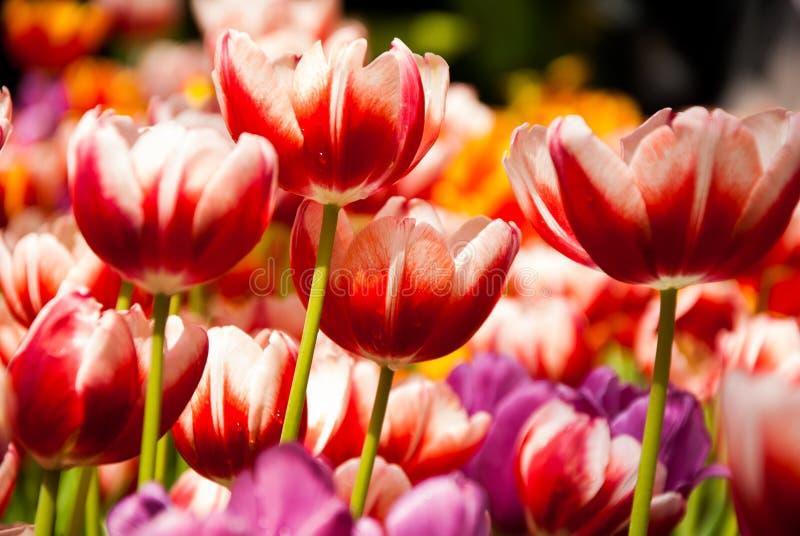 Download Тюльпан стоковое фото. изображение насчитывающей bowie - 37926944