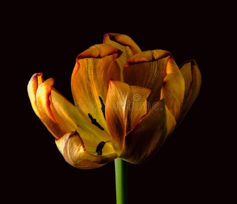 Тюльпан стоковое фото
