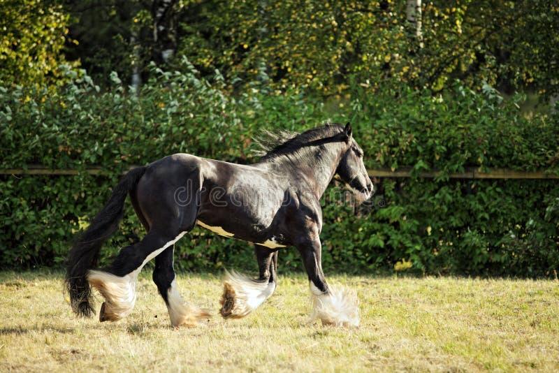 Тяжелая лошадь проекта показывает живой трот стоковое фото rf